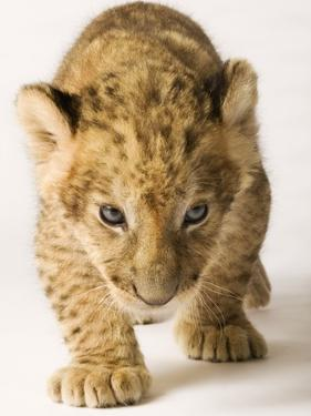 Lion Cub by Martin Harvey