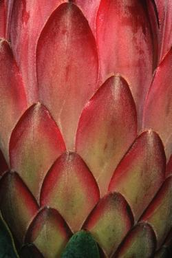Protea Flower Petals by Martin Harvey