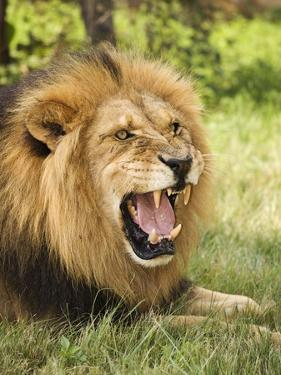 Roaring Lion by Martin Harvey