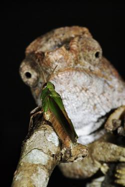 Short-Horned Chameleon and Prey by Martin Harvey