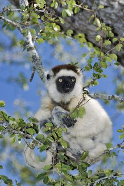 Verreaux's Sifaka by Martin Harvey