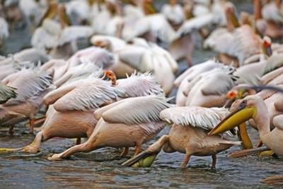 White Pelicans in Fishing Formation by Martin Harvey