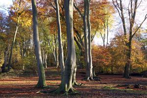 Autumn in Epping Forest, Essex, England, United Kingdom, Europe by Martin Pittaway
