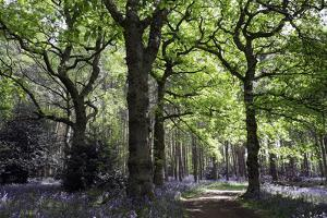 Bluebell wood near Wootton Wawen, Warwickshire, England, United Kingdom, Europe by Martin Pittaway