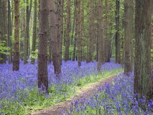 Bluebell Wood, Warwickshire, England, United Kingdom, Europe by Martin Pittaway