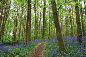 Bluebell woods near Henley in Arden, Warwickshire, England, United Kingdom, Europe by Martin Pittaway