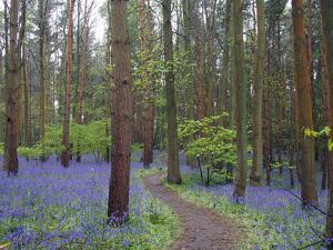 Bluebell woods near Wootton Wawen, Warwickshire, England, United Kingdom, Europe by Martin Pittaway