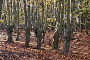 Pollarded beech tress, Epping Forest, Essex, England, United Kingdom, Europe by Martin Pittaway