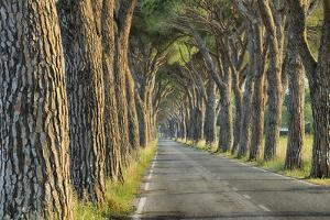 Avenue Lined with Pine Trees. by Martin Ruegner