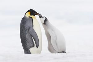 Emperor Penguin Chick and Adult. by Martin Ruegner
