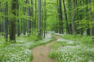Footpath through Ramsons. by Martin Ruegner