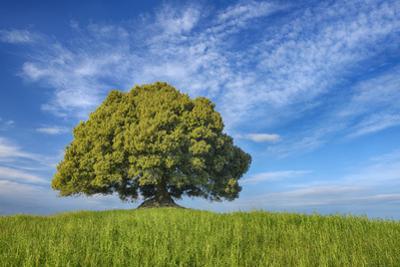 Holm Oak (Quercus Ilex) Alone in Meadow. by Martin Ruegner