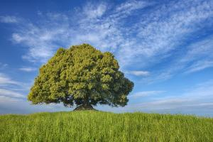 Holm Oak (Quercus Ilex) Alone in Meadow. by Martin Ruegner