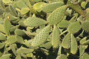 Prickly Pear Cactus (Opuntia Spec.) by Martin Ruegner