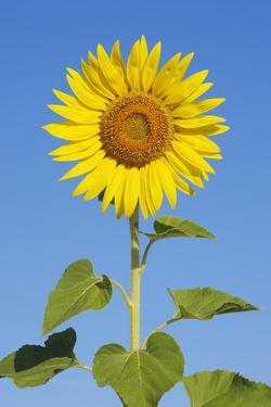 Sunflower (Helianthus Annuus) against Blue Sky. by Martin Ruegner