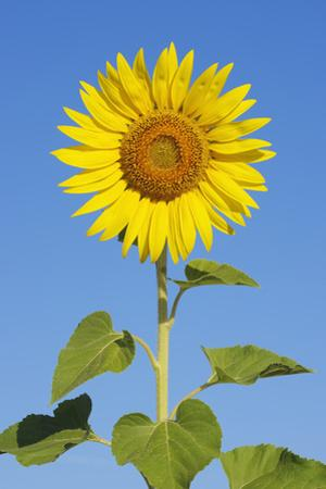 Sunflower (Helianthus Annuus) against Blue Sky. by Martin Ruegner