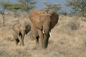 African Elephant (Loxodonta africana) adult female, walking with calf, Kenya by Martin Withers