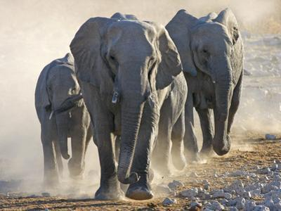African Elephant (Loxodonta africana) adults and young, small herd making way to waterhole, Kunene by Martin Withers