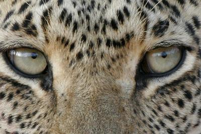 African Leopard (Panthera pardus pardus) adult, close-up of eyes, South Africa by Martin Withers