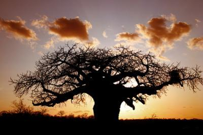 Baobab (Adansonia digitata) habit, silhouetted at sunset, South Africa by Martin Withers
