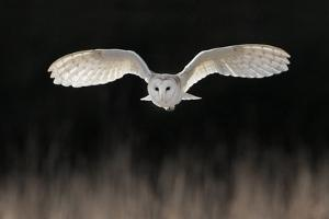 Barn Owl (Tyto alba) adult, in flight, hunting over meadow, Leicestershire by Martin Withers