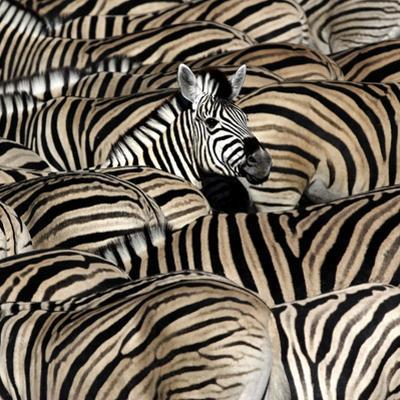 Common Zebra (Equus quagga burchellii) herd, with heads down drinking, Etosha by Martin Withers