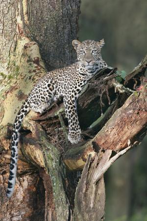 Leopard (Panthera pardus) adult, laying on branch of Yellow-barked Acacia, Lake Nakuru, Kenya by Martin Withers