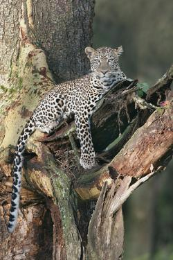 Leopard (Panthera pardus) adult, laying on branch of Yellow-barked Acacia, Lake Nakuru, Kenya by Martin Withers