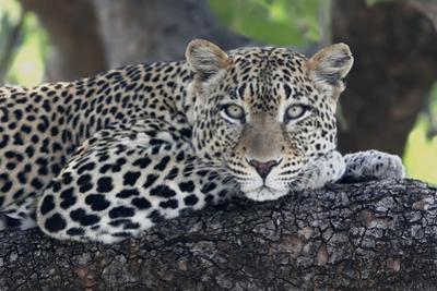 Leopard (Panthera pardus) adult, laying on branch, Samburu, Kenya