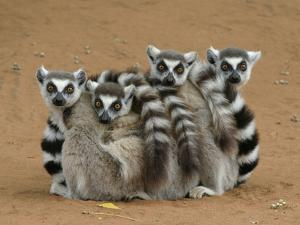 Ring-tailed Lemur (Lemur catta) four adults, sitting on ground, huddled together, Berenty by Martin Withers