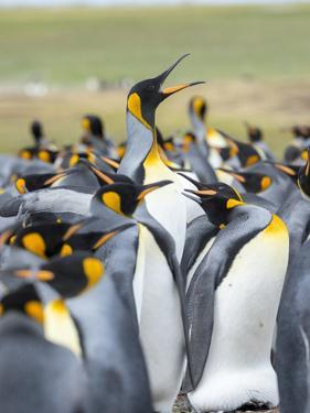 Adult King Penguin running through rookery while being pecked at by neighbors, Falkland Islands. by Martin Zwick