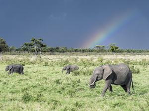 African Bush Elephant Family During Severe Storm, Maasai Mara , Kenya by Martin Zwick