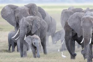 African Bush Elephant Herd, Amboseli National Park, Kenya by Martin Zwick