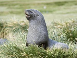Antarctic Fur Seal (Arctocephalus gazella). Bull in typical Tussock Grass habitat. by Martin Zwick