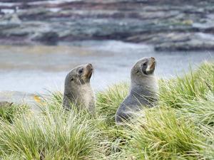 Antarctic Fur Seal (Arctocephalus gazella) in typical Tussock Grass. South Georgia Island by Martin Zwick