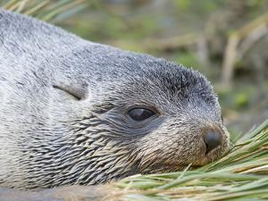 Antarctic Fur Seal (Arctocephalus gazella) in typical Tussock Grass. by Martin Zwick