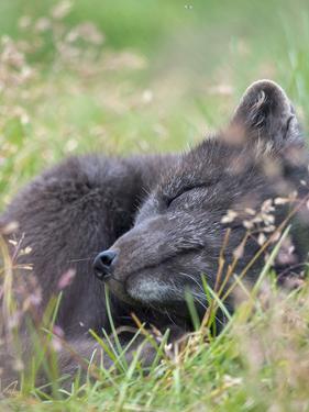 Arctic Fox, Melrakkasetur Islands, Westfjords, Iceland. by Martin Zwick