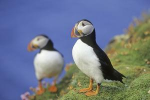 Atlantic Puffin on cliff in Hermaness National Nature Reserve. by Martin Zwick