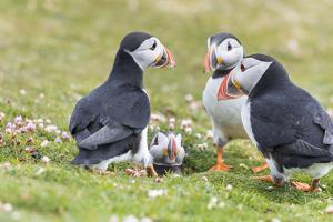 Atlantic Puffin. Scotland, Shetland Islands by Martin Zwick