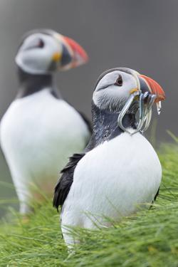 Atlantic Puffin With fish, Mykines, Faroe Islands. Denmark by Martin Zwick