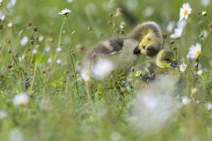 Barnacle goose (Branta leucopsis) chicks preening in the grass. Germany, Bavaria, Munich by Martin Zwick