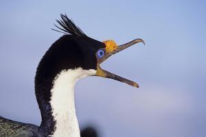 Birds, Imperial Shag / King Shag, Portrait, Falkland Islands, Bleaker Island by Martin Zwick