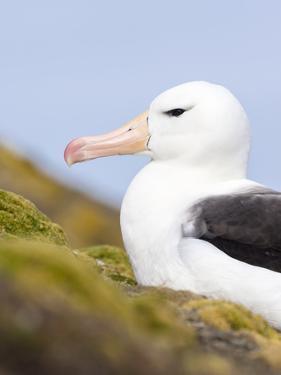 Black-browed Albatross. Falkland Islands by Martin Zwick