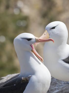 Black-browed albatross or black-browed mollymawk, Falkland Islands by Martin Zwick