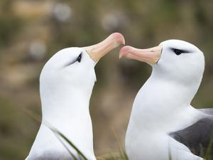 Black-browed albatross or black-browed mollymawk, Falkland Islands by Martin Zwick