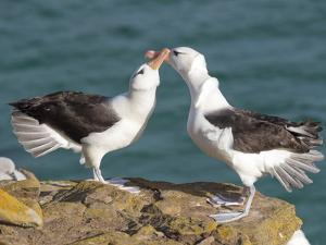 Black-browed albatross or black-browed mollymawk, Falkland Islands. by Martin Zwick