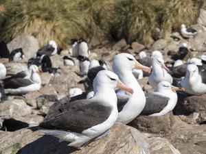 Black-browed albatross or black-browed mollymawk (Thalassarche melanophris). by Martin Zwick