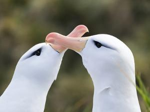 Black-browed albatross or black-browed mollymawk, typical courtship and greeting behavior. by Martin Zwick