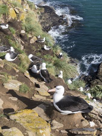 Black-Browed Albatross or Mollymawk, Colony. Falkland Islands