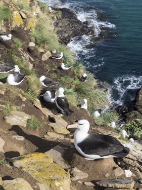Black-Browed Albatross or Mollymawk, Colony. Falkland Islands by Martin Zwick